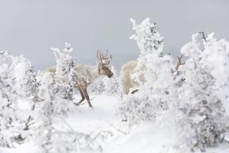 林地裡的馴鹿