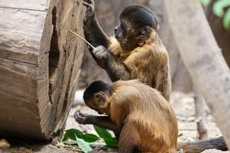 這些猴子在3000年前已邁入自己的「石器時代」!