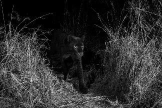 肯亞百餘年來首見罕見黑豹!
