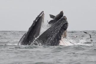 超衰!為何這隻海獅會在座頭鯨嘴裡?