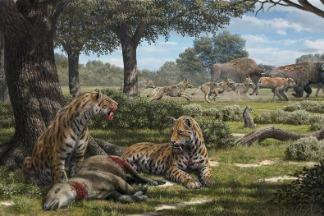 劍齒虎的翻案:新化石分析重新描繪了這種駭人大貓