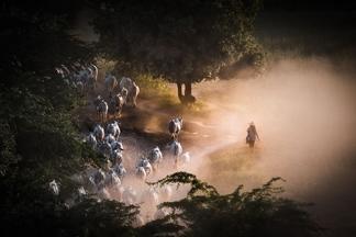 緬甸牧牛人