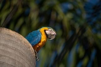 這種美麗的野生鸚鵡,為何能在巴西這座城市繁衍茁壯?