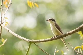 告別烤鳥歷史 伯勞鳥保育下一步:友善農法護棲地、食源