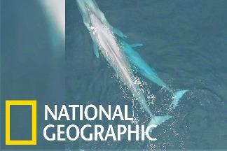 罕見畫面:藍鯨媽媽哺育幼鯨