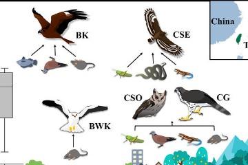 (內有解剖畫面慎入)最新研究證實,臺灣猛禽體內普遍驗出老鼠藥