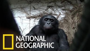 展現同理心的倭黑猩猩