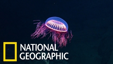 這不是外星生物喔,而是隻奇異的深海水母