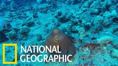 令人目不轉睛的章魚「變色秀」