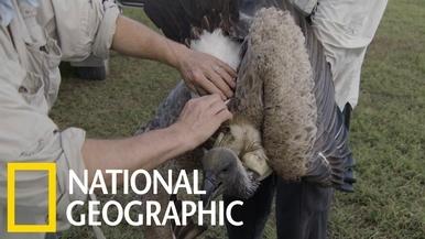 禿鷲為什麼被盜獵者毒害?