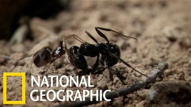 這種蜘蛛用高超的演技潛入蟻巢「暗殺」螞蟻