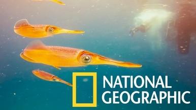 跟加勒比海珊瑚礁魷魚一起游泳