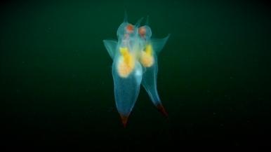 北冰洋「海天使」優美的交配儀式
