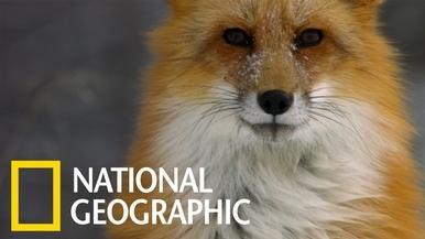 對赤狐來說,雪地下獵物的聲音是何等悅耳!
