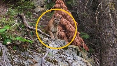 驚!登山客與山獅面對面