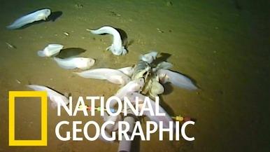 住在海溝底部馬里亞納獅子魚