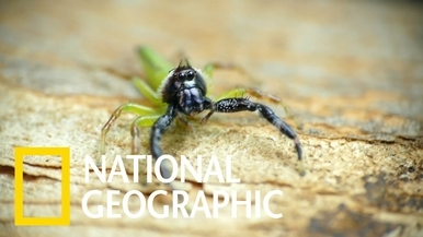 見見澳洲體型最大的跳蛛