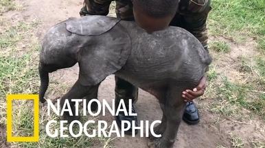 看早產小象搭乘直升機!