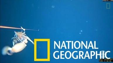 在塔斯馬尼亞外海拍到同類相食的魷魚
