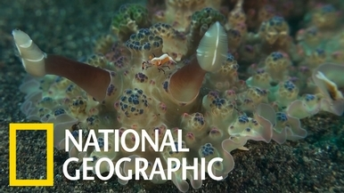 這種海蛞蝓的體表布滿「花椰菜狀」的彩色凸起