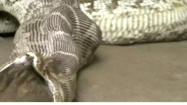 罕見畫面:貪食蛇大口吞羚羊