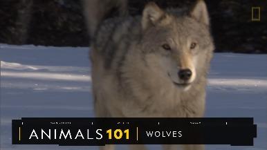 101動物教室:狼