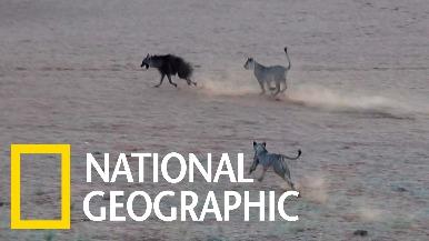 棕鬣狗想到水塘喝水,卻沒注意到主人們已經回來了……