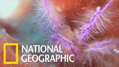 既不是蝦也不是蟹的「粉紅毛鎧甲蝦」
