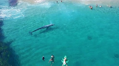 超吸睛灰鯨寶寶現身加州海灘!