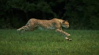 獵豹:完美的跑步機器