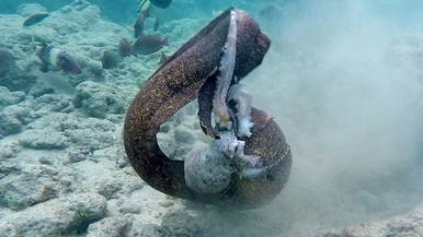 海鰻 VS 章魚:誰輸誰贏?
