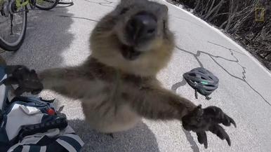 可愛發現:短尾矮袋鼠想要抱抱!