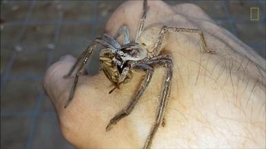 驚悚畫面:大蜘蛛在人手上大啖蟋蟀