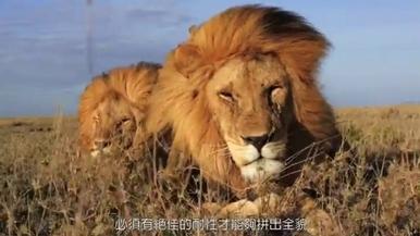獅子生與死:為什麼獅子是群體動物?