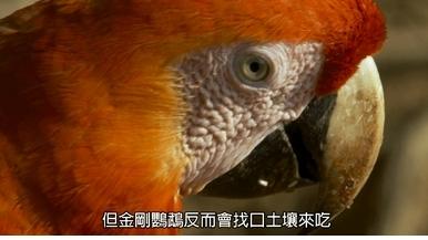 每日酷知識:專門「吃土」的鳥