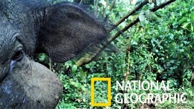 現實世界的乙事主:非洲森林中罕見的大林豬