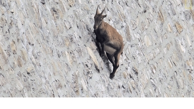 山羊為什麼能飛簷走壁?