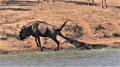 看看是誰拯救了鱷魚口中的牛羚