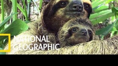 走失的樹懶寶寶哭了,於是工作人員靈機一動……