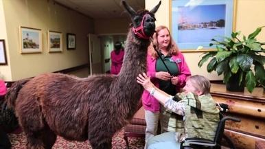 護理之家意外訪客——可愛的駱馬
