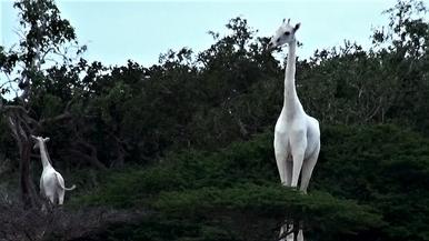 罕見影片:肯亞驚見兩頭「夢幻白長頸鹿」