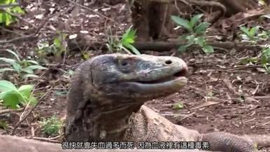 地球上最可怕的蜥蜴—科摩多龍