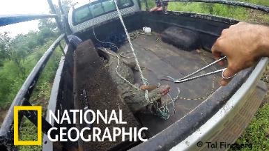 保護區管理員的首次鱷魚救援