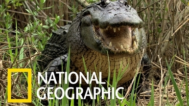 與短吻鱷面對面