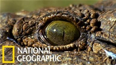 孔武有力的尼羅鱷(與牠們的小小弱點)
