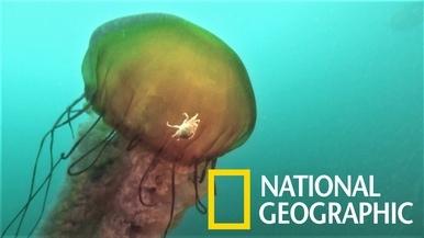 水母身上的寄生端足類