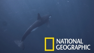 當「鯨魚殺手」遇上抹香鯨群