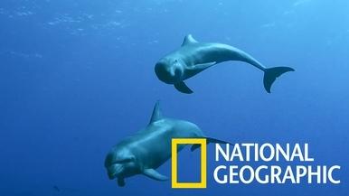 這頭瓶鼻海豚「養母」領養了一頭瓜頭鯨孤兒