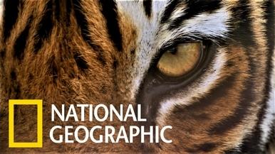 孟加拉虎的狩獵紛爭