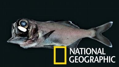 罕見畫面:利用細菌在黑暗中發光的燈頰鯛
